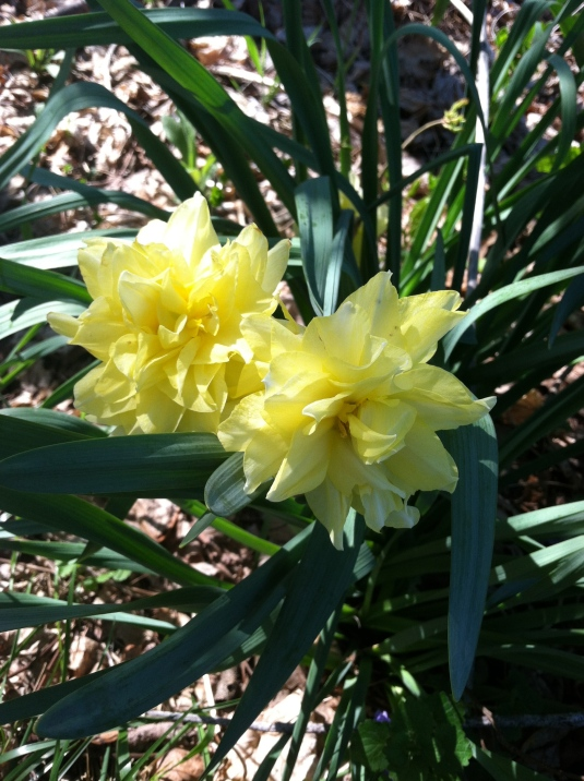 A new daffodil species?